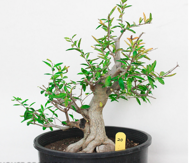 how to grow pomegranate bonsai from seed