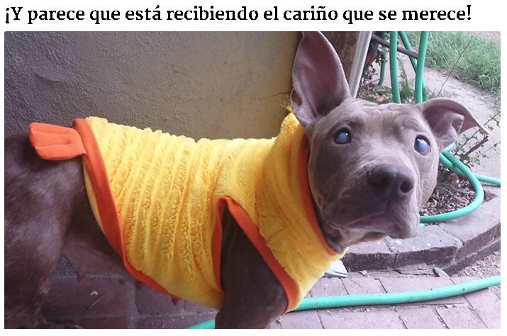 [para llorar] Pitbull ciega abandonada es rescatada