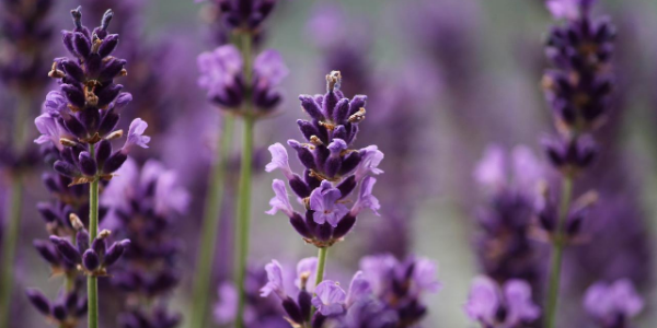 Lavender essential oil for sinuses