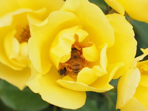 [写真]薔薇の中のミツバチ