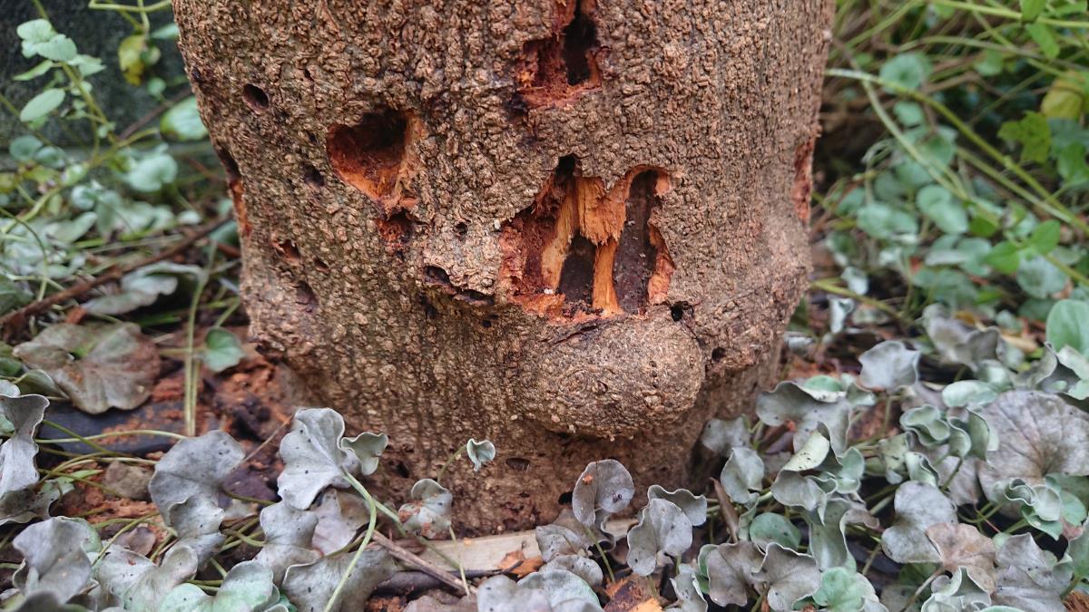 [写真]オリーブアナアキゾウムシに食い荒らされたオリーブの幹。幼虫をほじくりだすためにすでにだいぶ樹皮を剥いである。