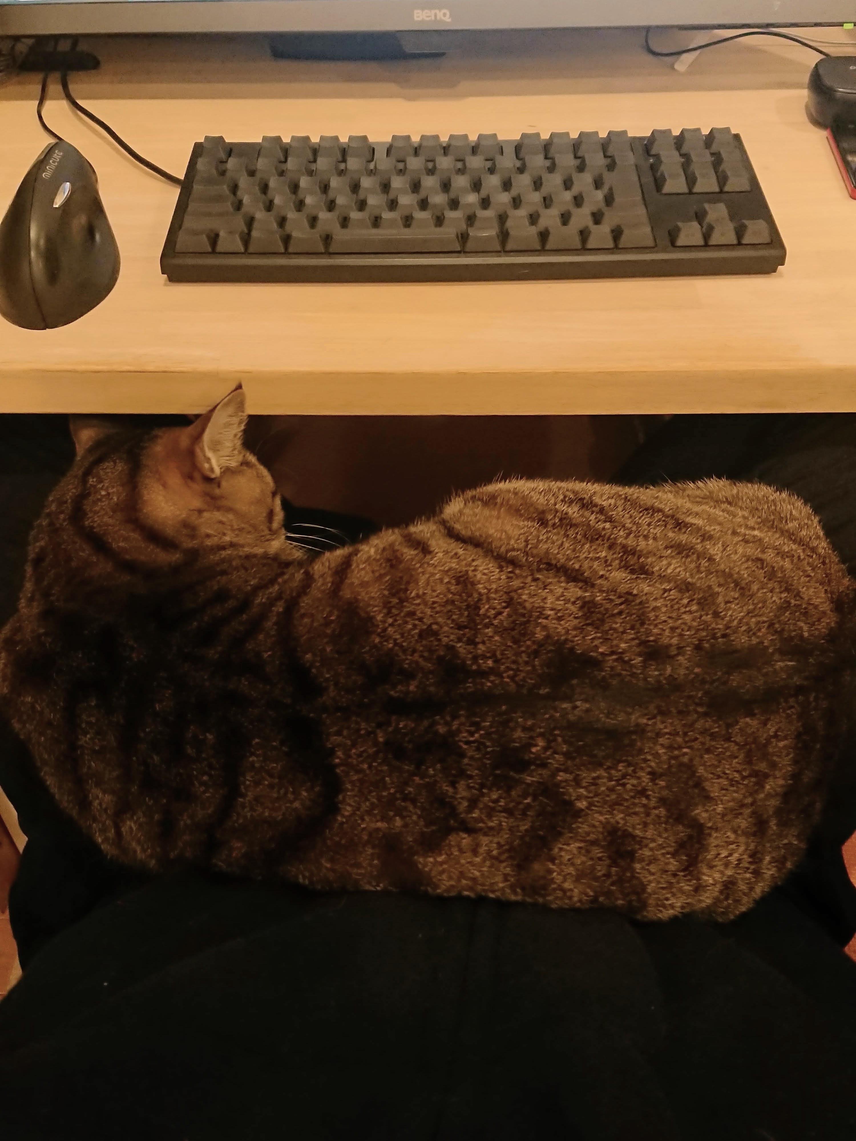 [写真]仕事中だろうとおかまいなしに膝の上で寝るグスタフ
